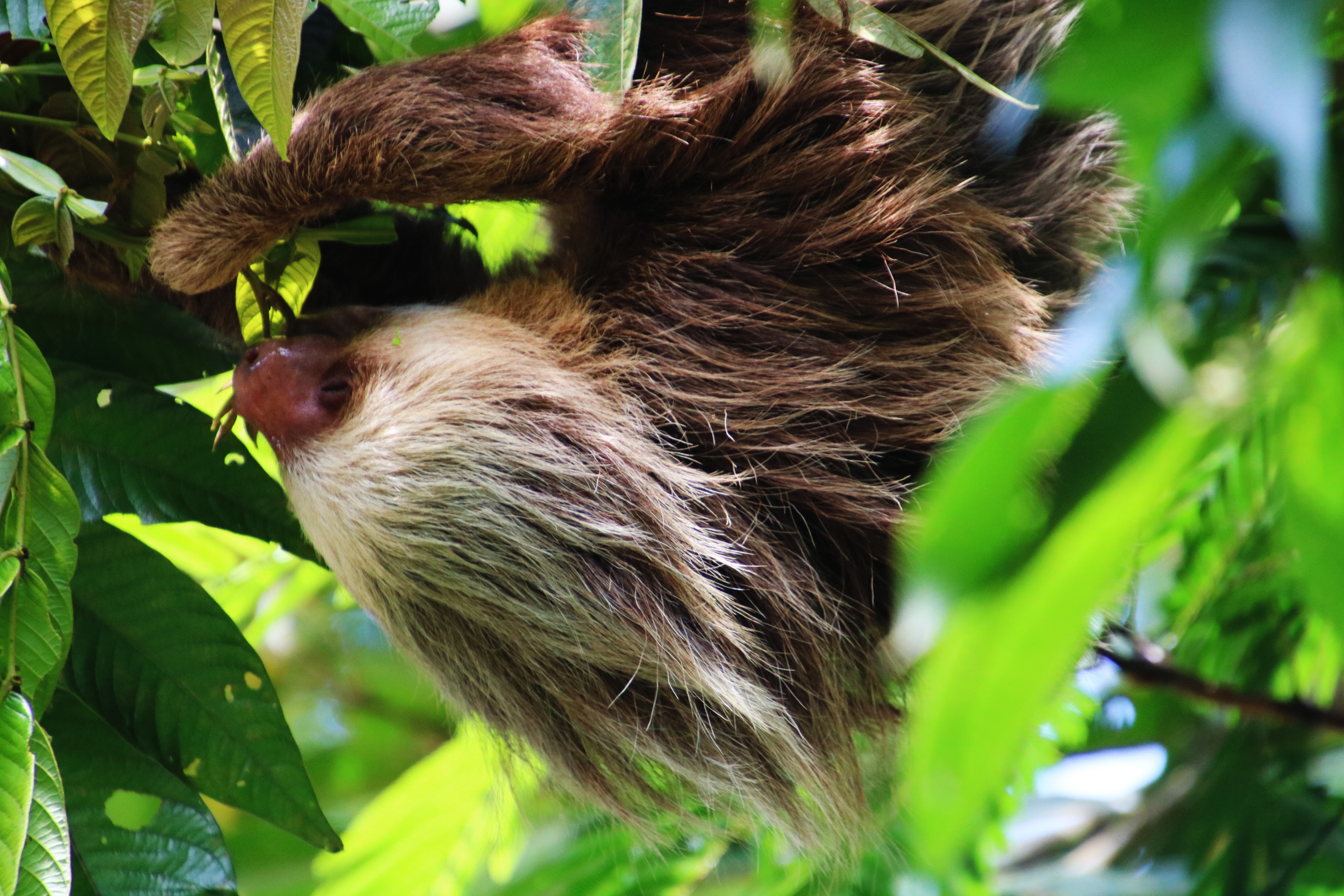 70-two toed sloth hanging out for lunch